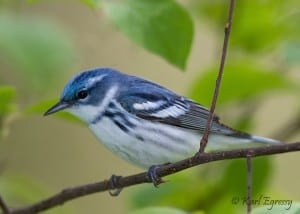 Cerulean Warbler - a species at risk in Canada  (Karl Egressy)