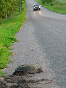 Snapping Turtle (Danielle Tassie)