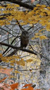 Barred Owl - Jackson Park - Nov. 2015 - Marti Olivieri