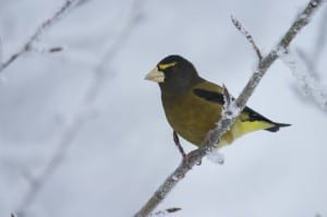 Male Evening Grosbeak - Wikimedia