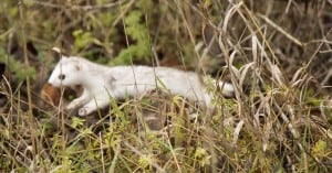 Stoat - Abby Webster - Nov. 11, 2015 - TC Trail