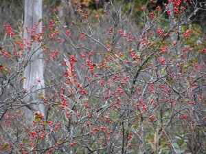 Winterberry Holly - Drew-Monkman.