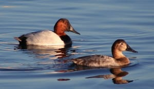 Male and female Canvasbacks - Wikimedia