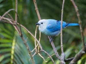 Blue-gray Tanager - D. Monkman