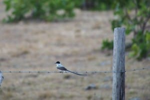 Fork-tailed Flycatcher - D. Monkman