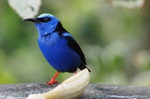 Male Red-legged Honeycreeper feeding on a banana - Drew-Monkman