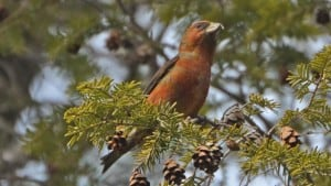 Red_Crossbill - male - Wikimedia