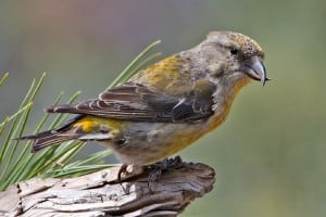 Red Crossbill (Female), Cabin Lake Viewing Blinds, Deschutes National Forest, Near Fort Rock, Oregon