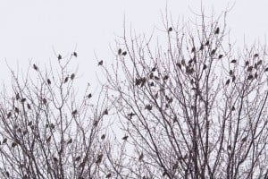 Bohemian Waxwings - Cow Island - Jan. 24, 2015 - via Sylvia Cashmore