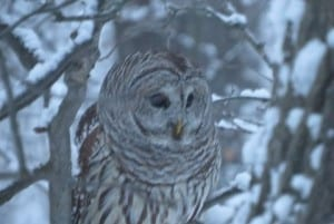 Barred Owl - Brian Tinker - Jan. 29, 2016 - Warkworth