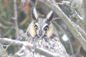 Close-up of Long-eared Owl - Jan. 3, 2015 - Wildlark Drive, PTBO - Murray Palmer