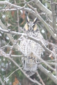 Long-eared Owl - Jan. 3, 2015 - Wildlark Drive, PTBO - Murray Palmer