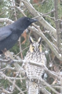 Long-eared Owl being harrassed by a crow - Murray Palmer