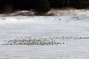 Flock of Snow Buntings