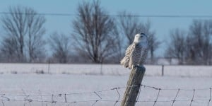 Snowy Owl - Woodville - Jan. 23, 2015 - Tim Corner