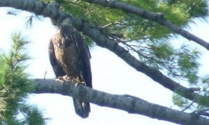 Immature (juvenal) Bald Eagle - Drew Monkman