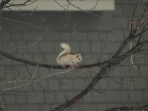 Leucistic Red Squirrel - Stony Lake, March 2014 - Lucy Lowes