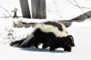 Striped Skunk - Wikimedia
