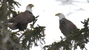 Bald Eagles - Jan. 31, 2016, Simmons Ave, Peterborough - Trudy Gibson