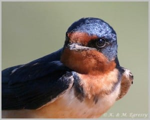 Barn Swallow - Karl Egressy