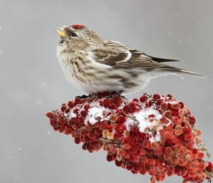 Common redpolls may show up at feeders in the Kawarthas this winter - Missy Mandel