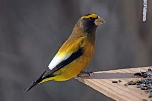 The evening grosbeak was a nice find on last year's GBBC in the Kawarthas - Gord Belyea