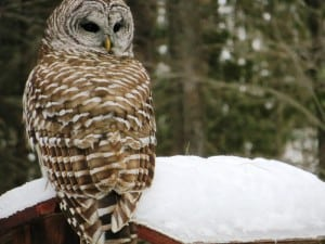 Barred Owl - Judy Watts - Big Gull Lake - Feb. 27, 2016