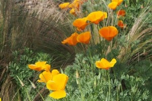 California Poppies, the state's official flower - Drew Monkman