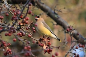 Cedar Waxwing - March 2016 - Jeff Keller