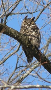 Great Horned Owl - Fleming Campus in Peterborough - Drew Monkman