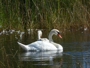 Mute Swan (photo: Drew Monkman)