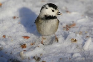 A leucistic Black-capped Chickadee in Bridgenorth - Jeff Keller