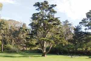 Monterey Cypress in Golden Gate Park (Photo: Drew Monkman)