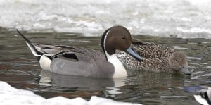 Pair of Northern Pintail - Karl Egressy