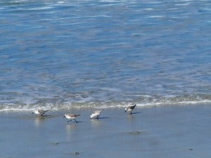 Sanderlings on beach near Pebble Beach - Drew Monkman