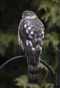 Sharp-shinned Hawk - Kingsley Hubbs