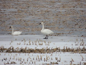 Tundra Swans - Apr. 6, 2014 - Luke Berg