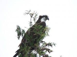 Osprey - Derry Fairweather