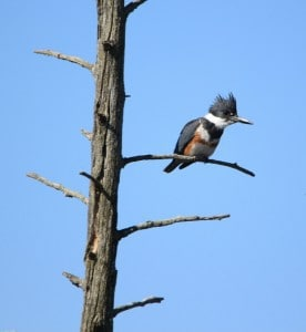 Female Belted Kingfisher - Jeff Keller (Note: The male does not show any rufous.)