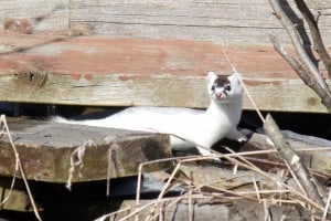 Long-tailed Weasel - March 23 - Gwen Forsyth