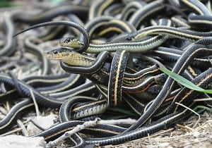 Mating ball of garter snakes - Wikimedia