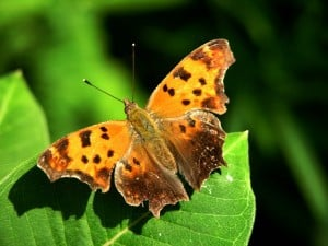 Eastern Comma - Terry Carpenter