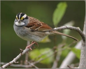 White-throated Sparrow - Karl Egressy