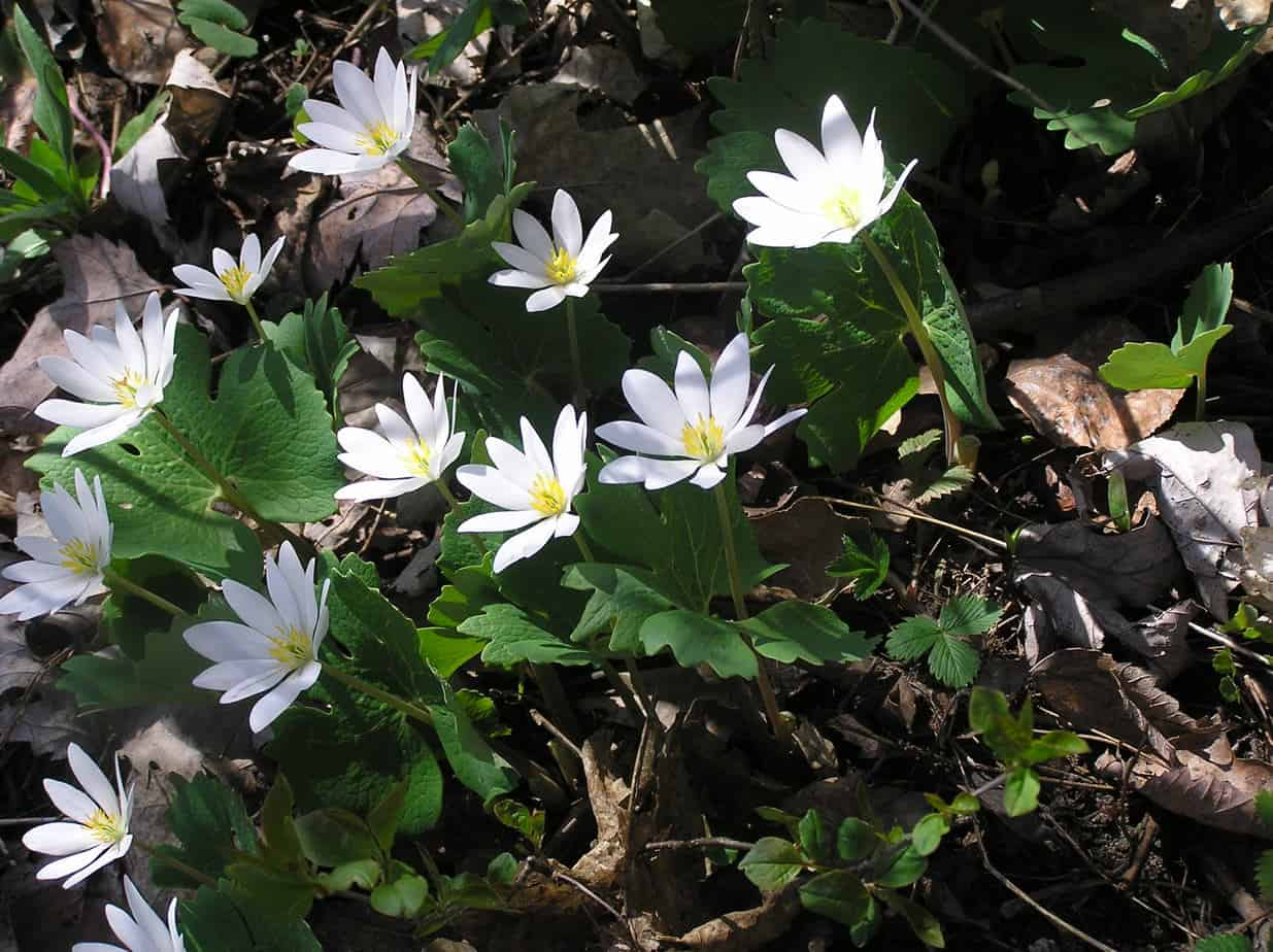 Wildflowers our changing seasons bloodroot drew monkman mightylinksfo