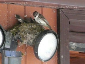 Eastern Phoebe at nest - David Frank