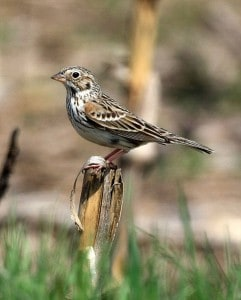Vesper Sparrow - note rufous on shoulders (not always visible) - Wikimedia