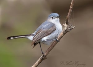Blue-gray Gnatcatcher - Karl Egressy