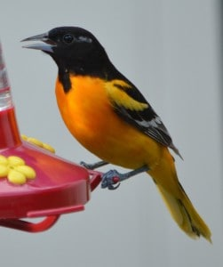 Baltimore Oriole on hummingbird feeder - Doug Gibson