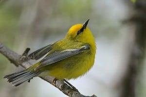 Blue-winged Warbler - Wikimedia