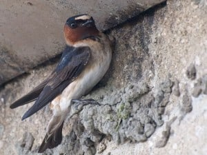 Cliff Swallow building nest - Wikimedia